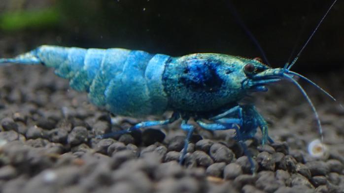 Blue Bolt Shrimp ,Taiwan Bee shrimp