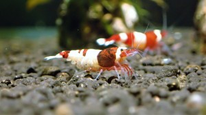 Taiwan Bee Shrimp