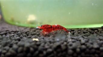 The Ultimate Freshwater Aquarium Shrimp Guide
