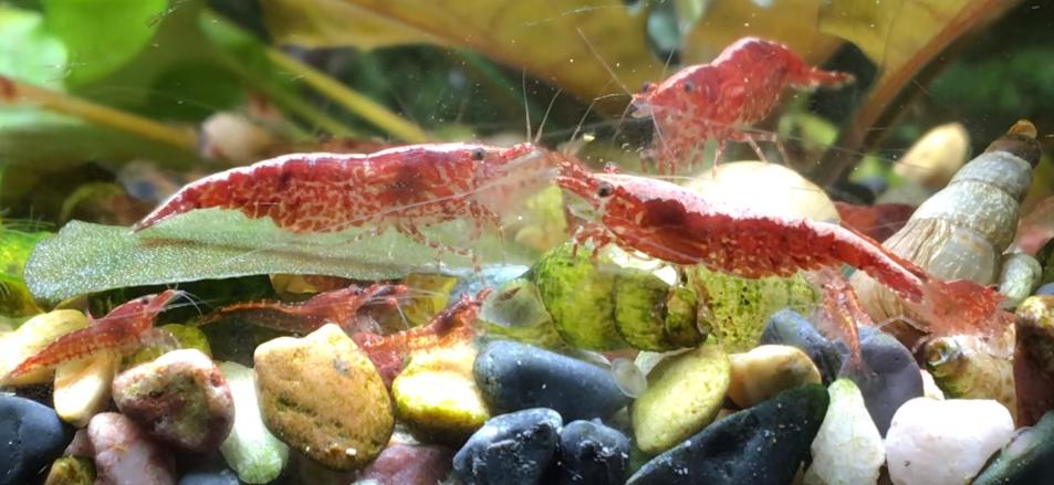 Cherry shrimp breeding and care