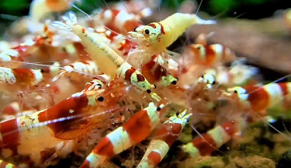 How to breed and keep crystal redshrimp