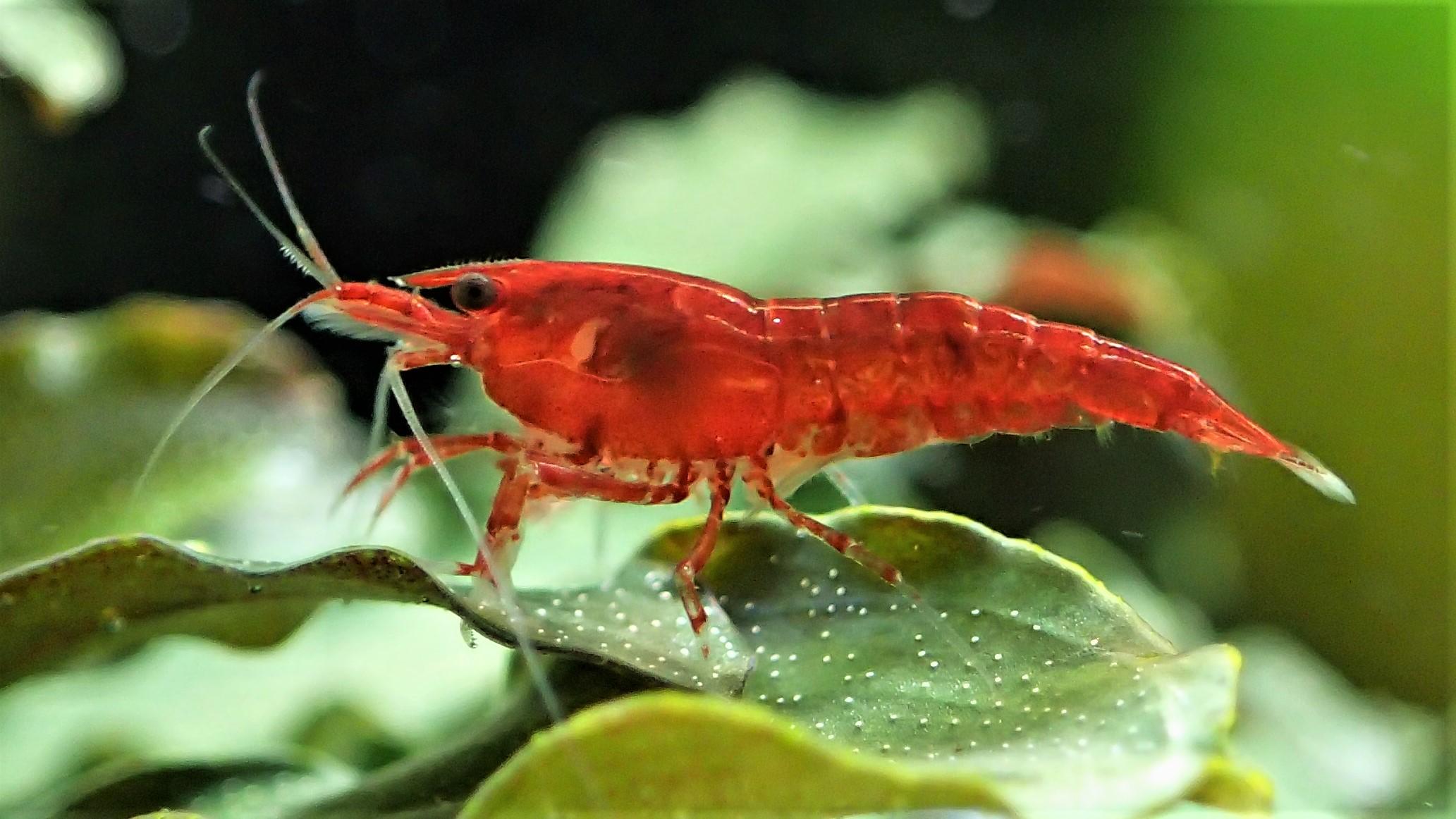 Male Cherry Shrimp