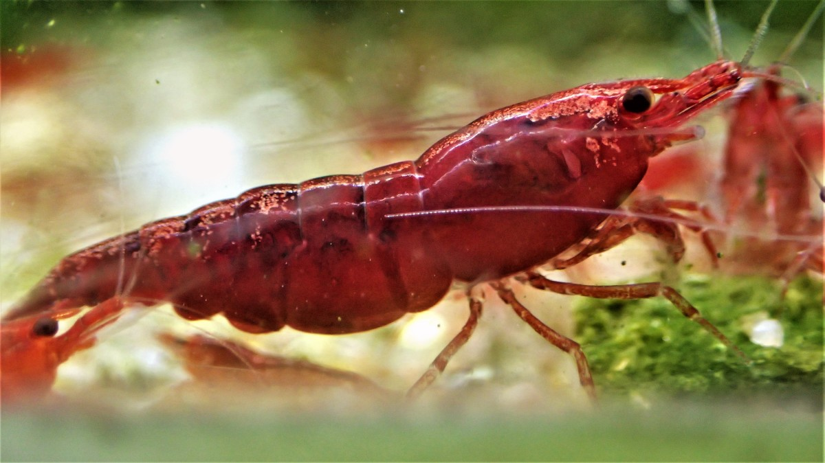 111 Cherry Shrimp Mega Questions And Answers