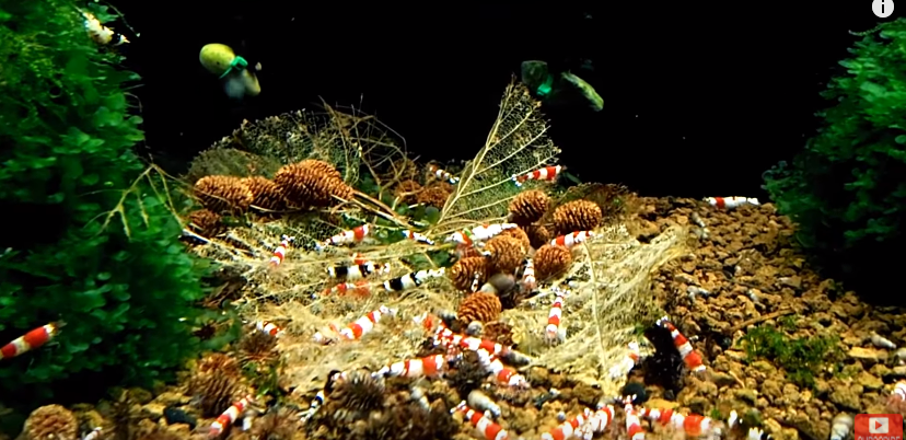 2018-04-02 14_14_45-(14) How To Use Leaves In A Shrimp Tank 🦐 - YouTube.png