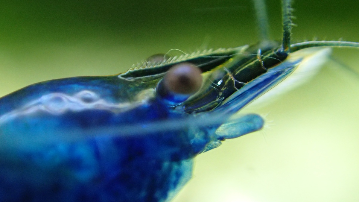 The Ultimate Freshwater Aquarium Shrimp Guide